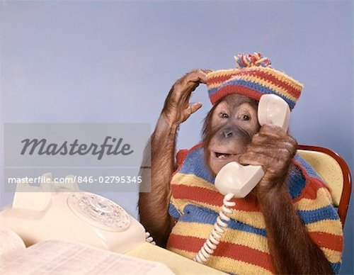 A chimpanzee uses the telephone, in one of many fun images you can purchase from Masterfile.