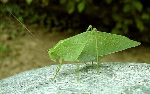 A homeless katydid